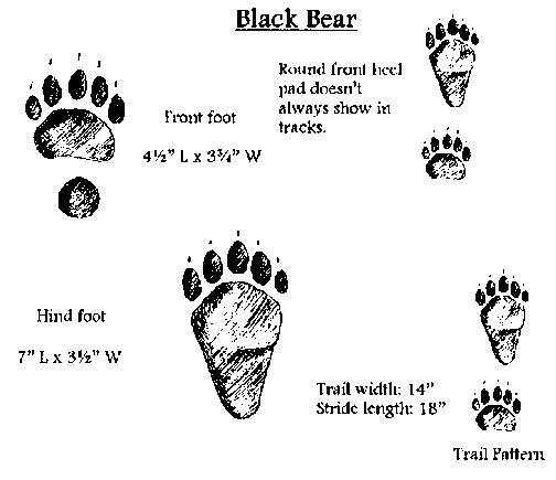 Black-Bear-Tracks