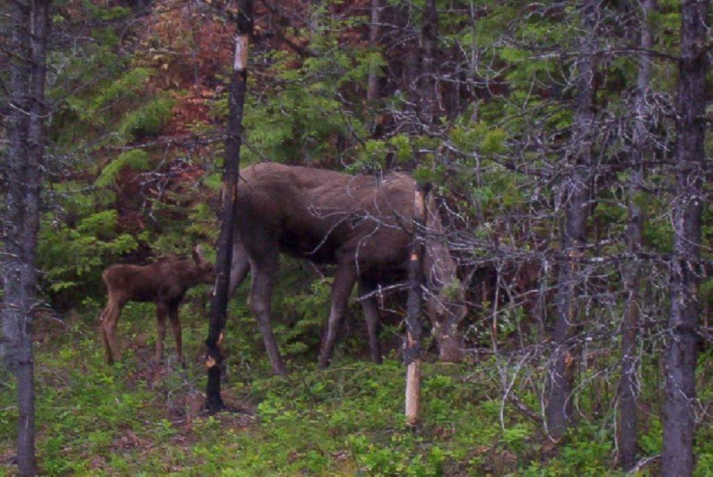 Moose-Cow