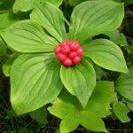 bunchberry-berries