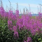 fireweed-patch
