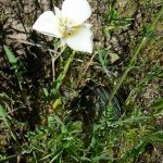 Pointed Mariposa Lily