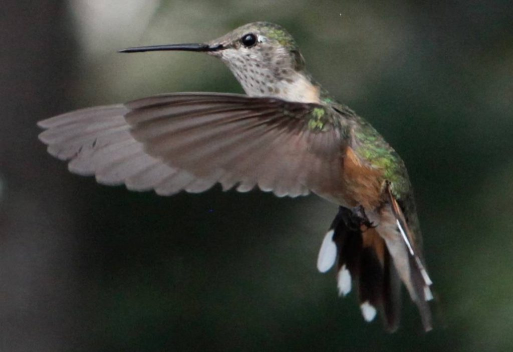 broad-tailed-female