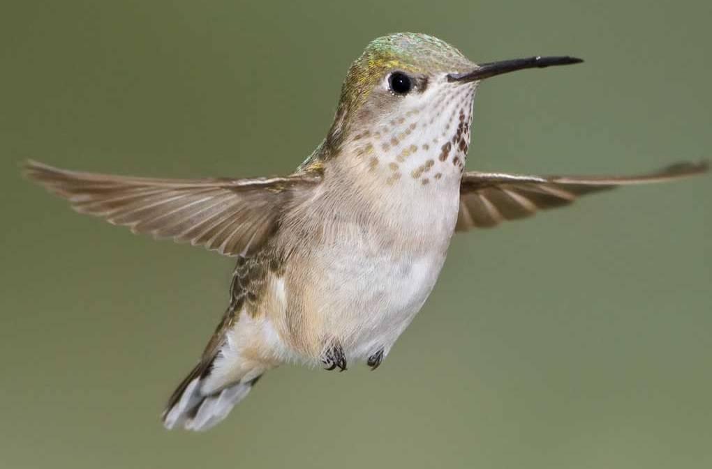 Hummingbirds In Glacier National Park Smoky Bear Ranch