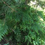 western-red-cedar-branch
