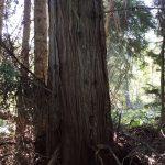 western-red-cedar-trunk