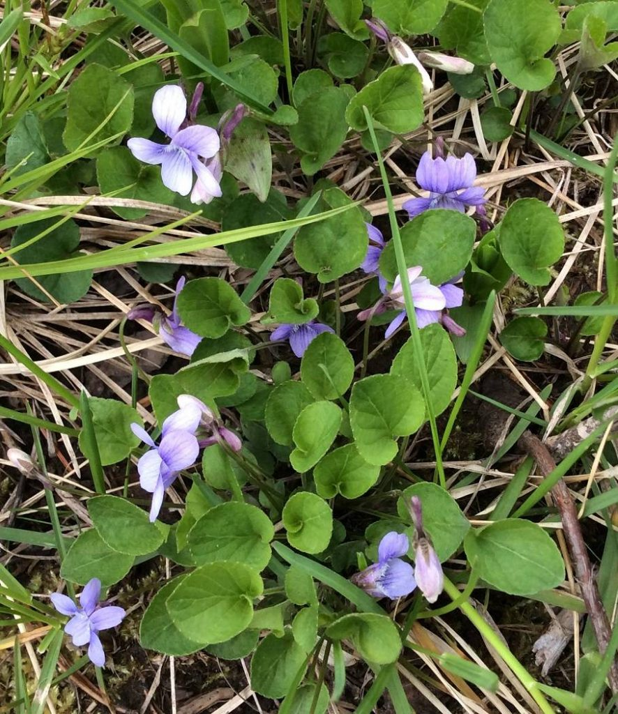 Early-Blue-Violet