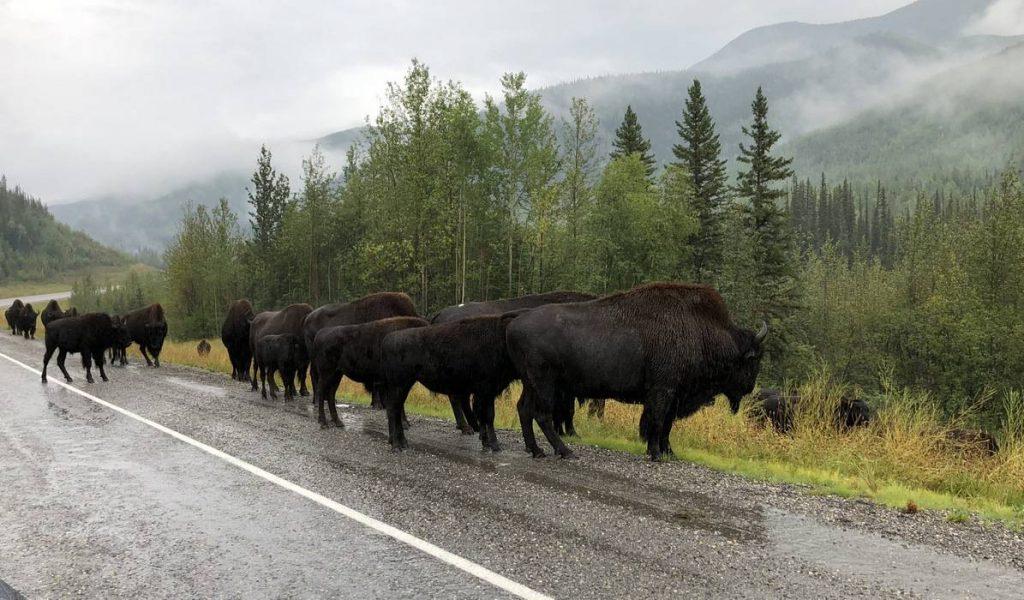 Wood-Bison