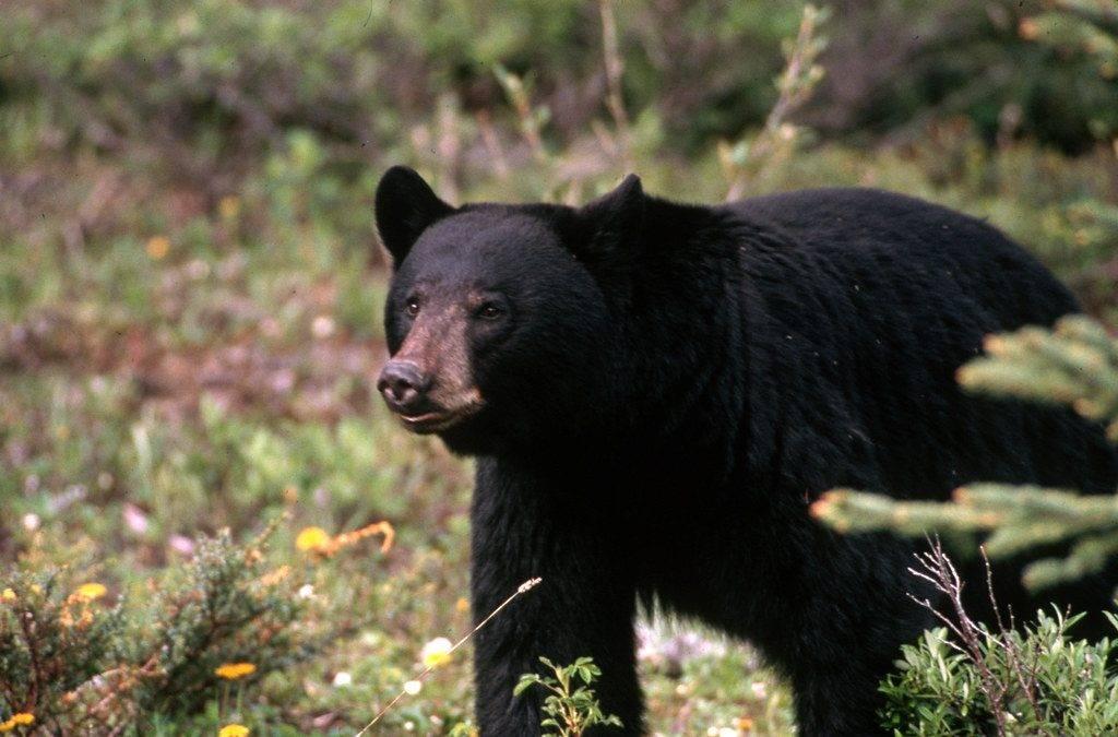 Black-Bear1