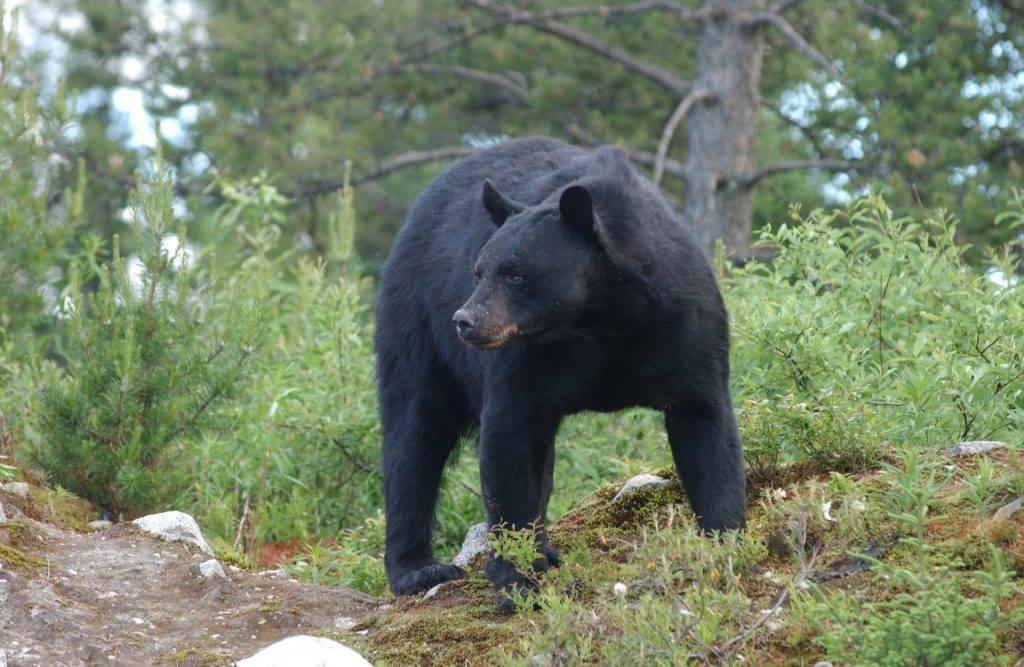 Black-Bear10