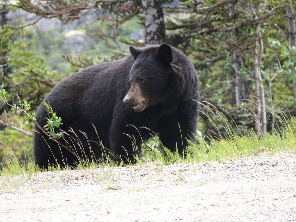 Black-Bear3