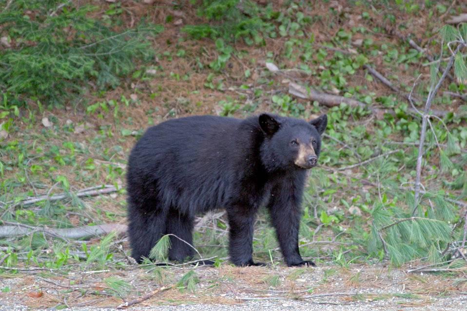 Black-Bear4