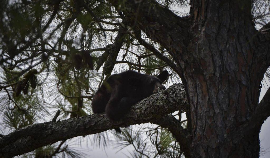 Black-Bear5