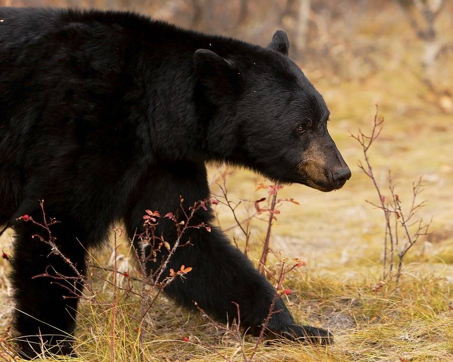 Black-Bear6