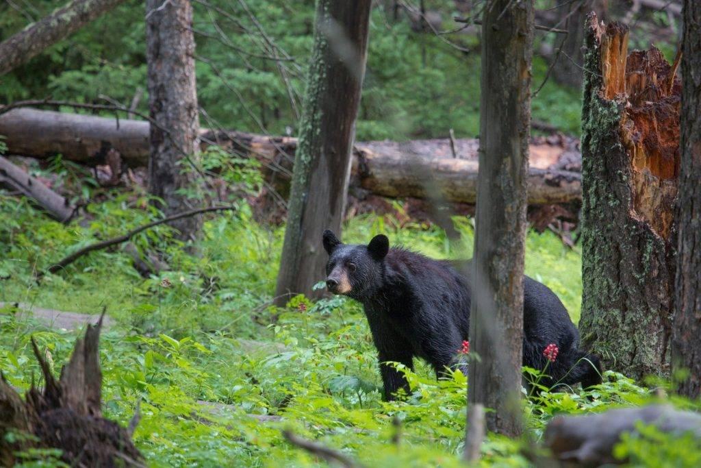 Black-Bear7