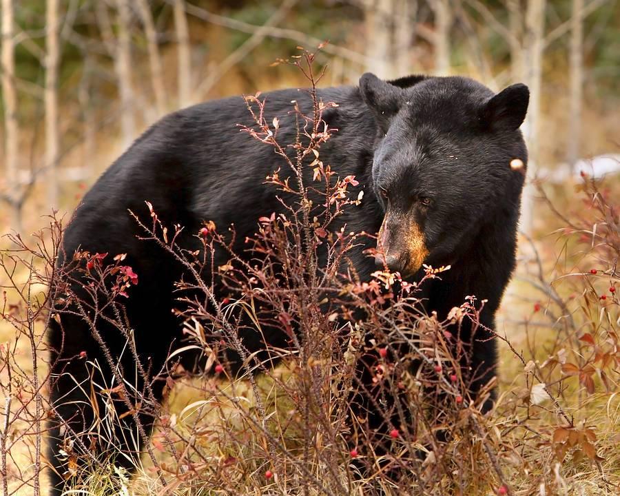 Black-Bear8