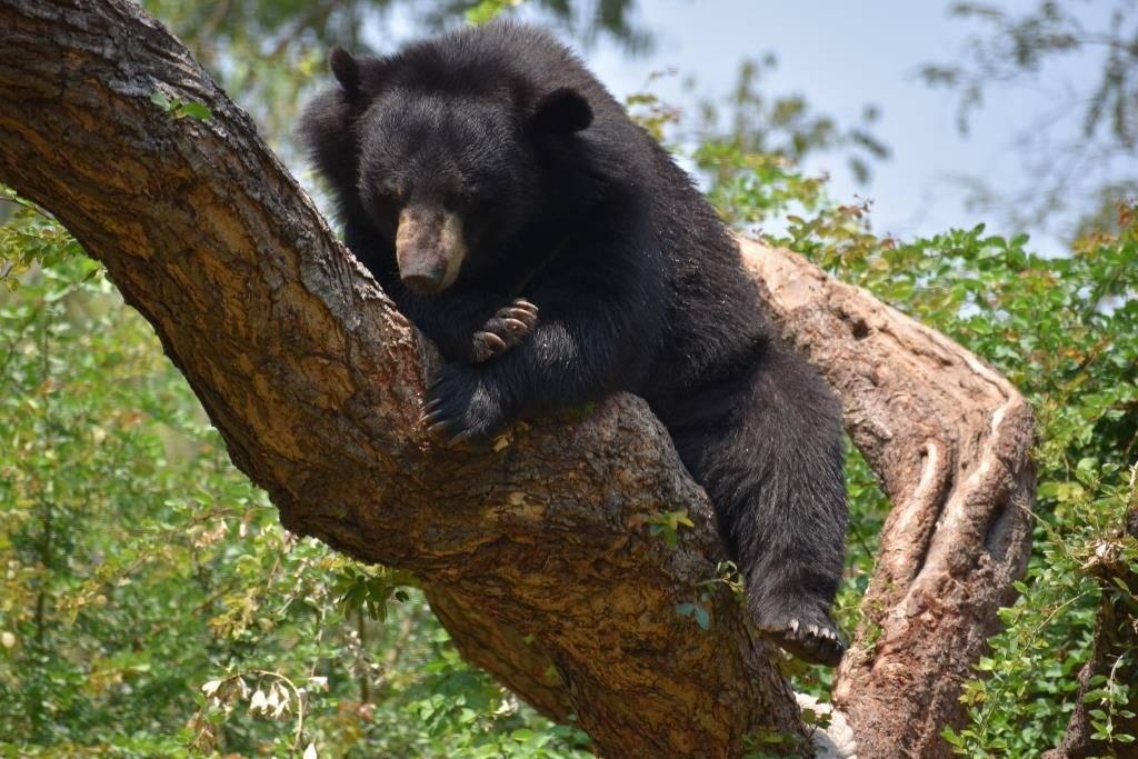 Black-Bear9