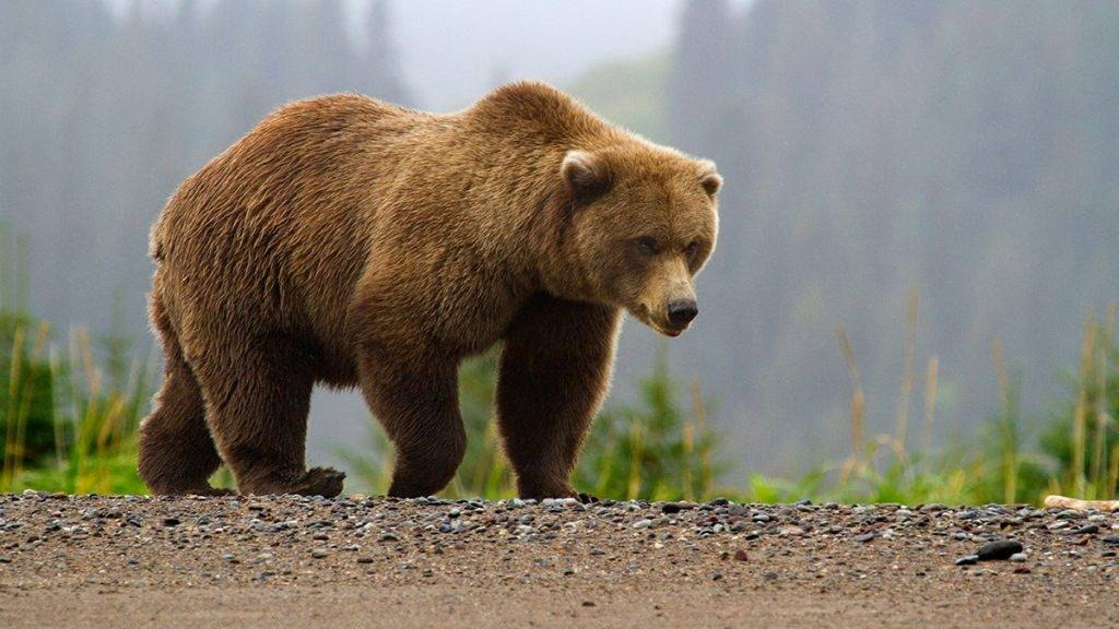 Grizzly-Bear3