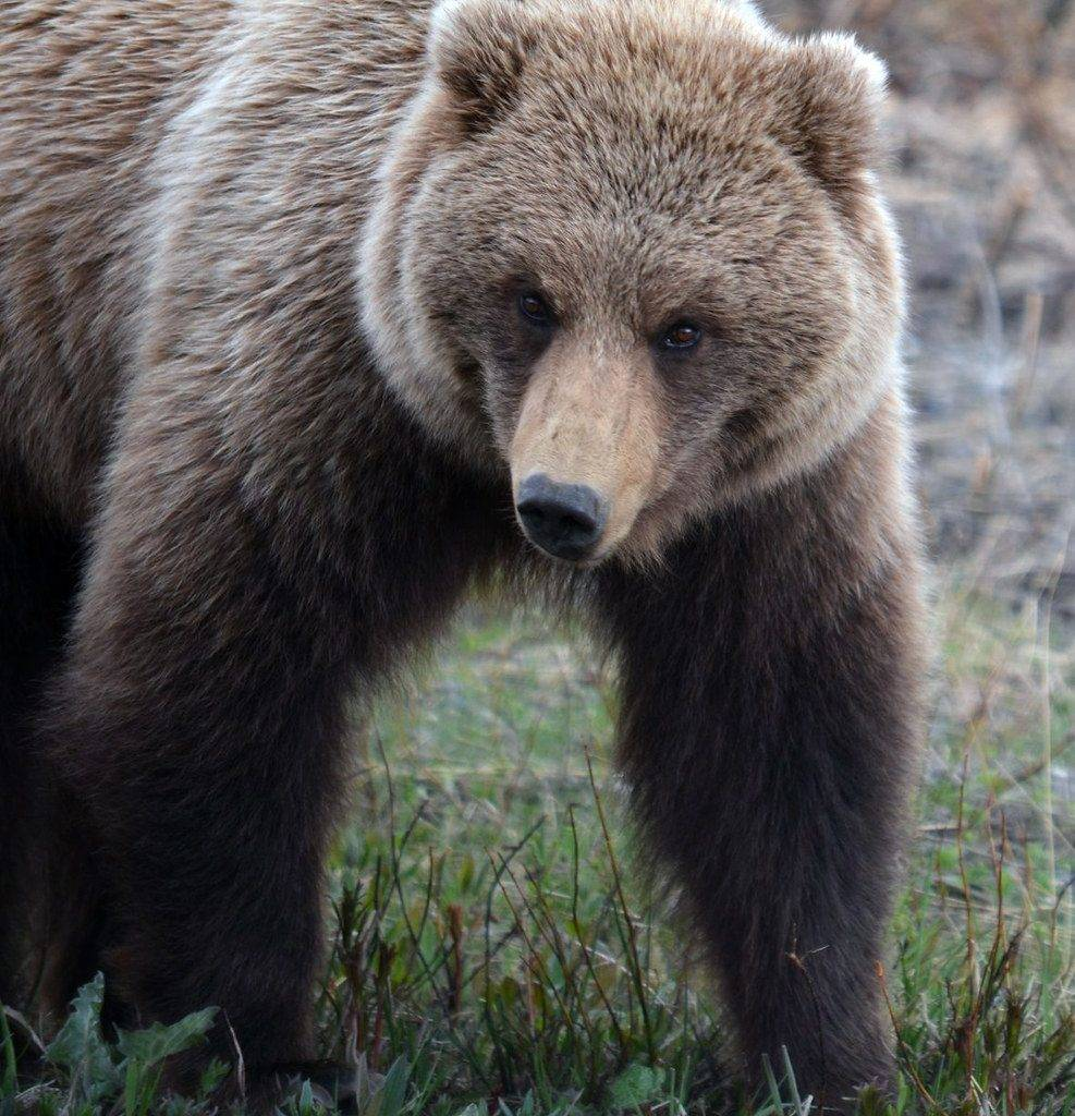 Grizzly-Bear4