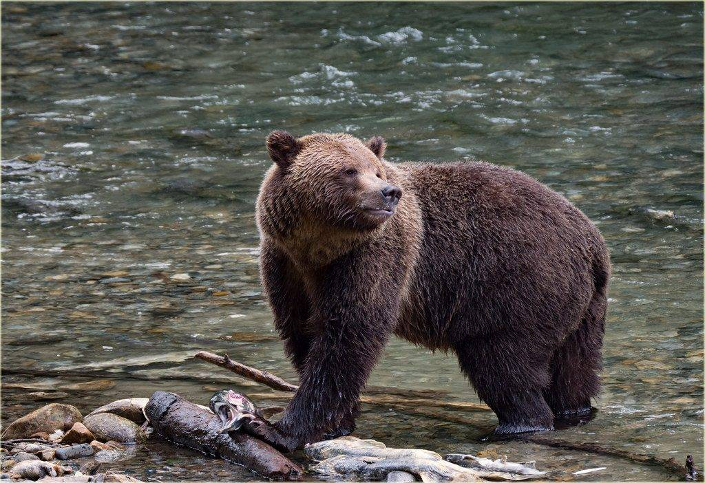 Grizzly-Bear5