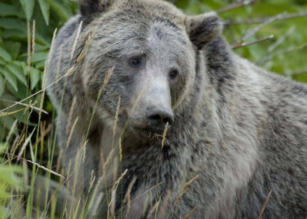 Grizzly-Bear6