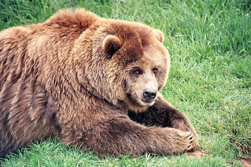 Grizzly-Bear7