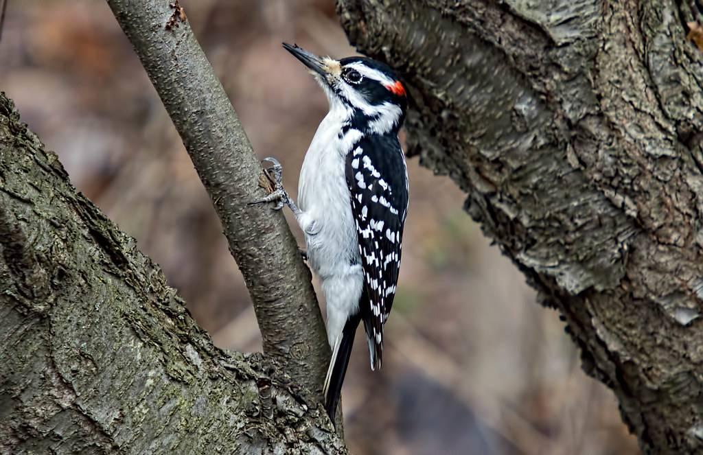 Hairy Woodpecker (Leuconotopicus villosus) -- Prospect Park