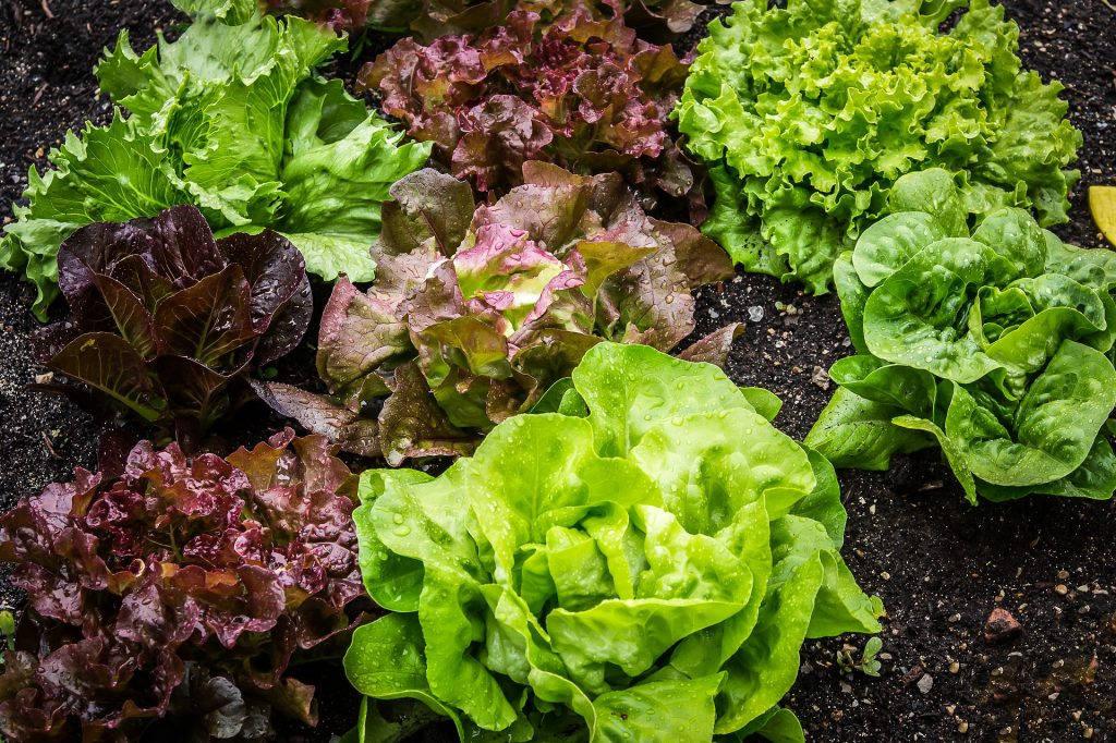 salad-lettuce
