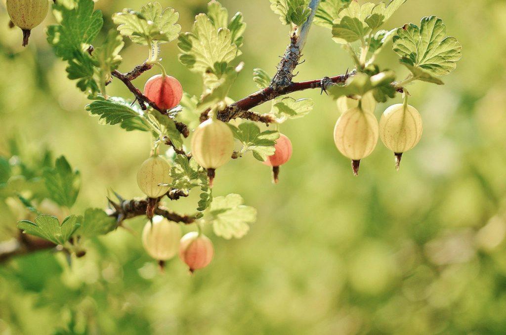 gooseberry-montana