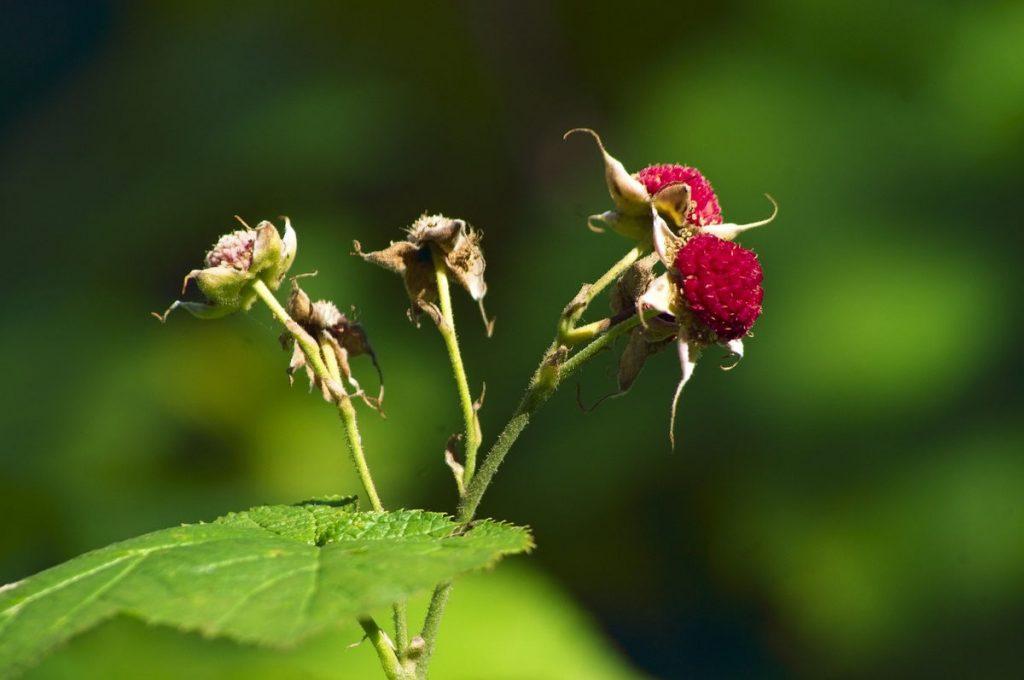 thimbleberry-montana