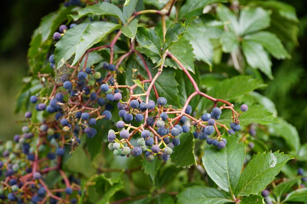 Virginia-Creeper-Berries