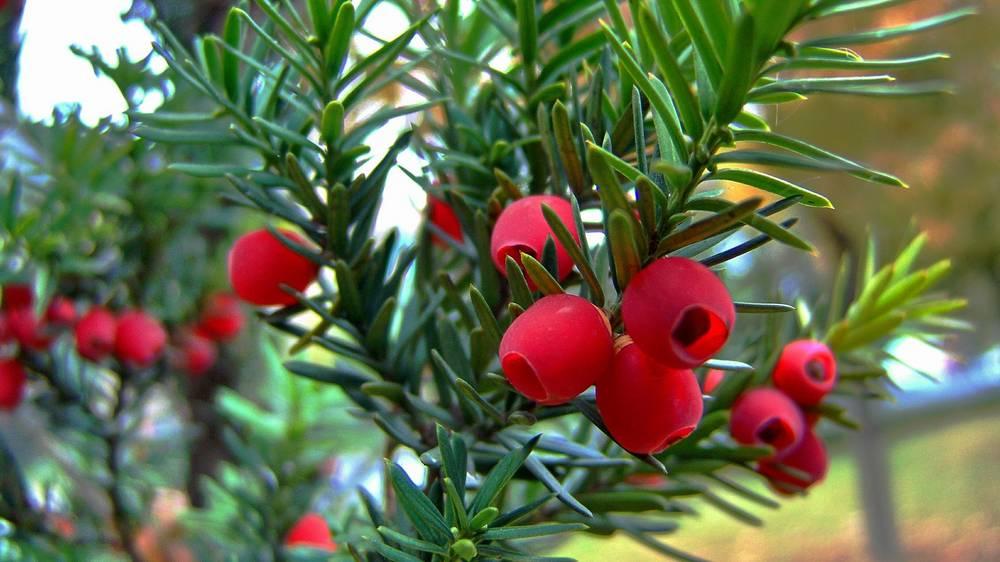 Yew-Berries