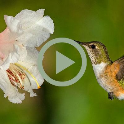 Gallery (Hummingbird)